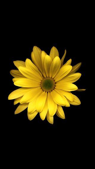 Обои на телефон маргаритка, цветы, природа, желтые, hd