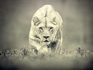 Обои на телефон дикие, страшные, лев, животные, fierce