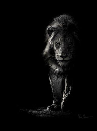 Обои на телефон южный, черные, серые, питомцы, лев, король, белые, land, black and white lion
