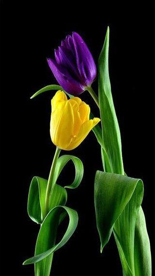 Обои на телефон тюльпаны, природа, желтые, yellow tulip