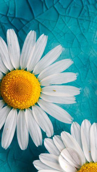 Обои на телефон цветы, ромашки, любовь, классные, love, daisies flower, 2016