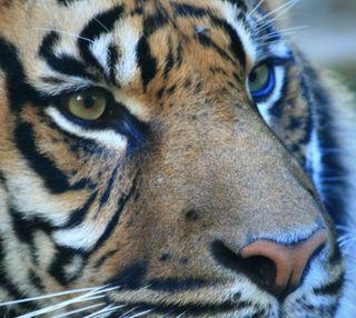 Обои на телефон тигр, новый, лучшие, крутые, естественные, глаза, sgs3, s3, 2013, 2012