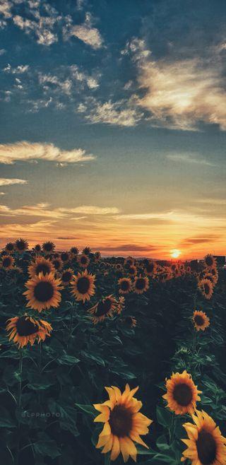 Обои на телефон фотография, лето, природа, прекрасные, подсолнухи, креативные, закат