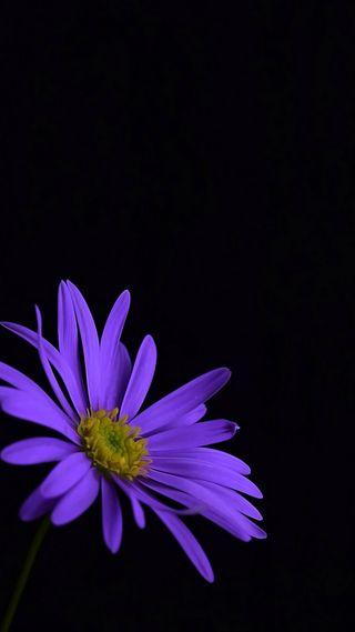 Обои на телефон маргаритка, цветы