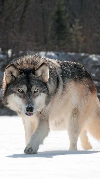 Обои на телефон охотник, снег, серые, питомцы, король, животные, волк