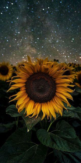 Обои на телефон поле, подсолнухи, лепестки, ночь, небо, космос, звезды, звездное, желтые, sunflower stars