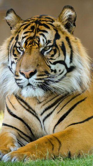Обои на телефон злые, тигр