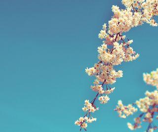 Обои на телефон вишня, цветы, цвести, природа, красочные, cherry blossom