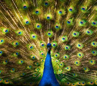 Обои на телефон павлин, птицы, перья, перо, животные, peacock and feathers