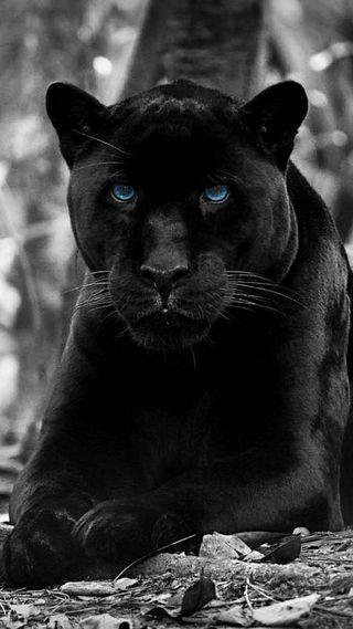 Обои на телефон пантера, черные, синие, лицо, кошки, животные, дикие, глаза, big