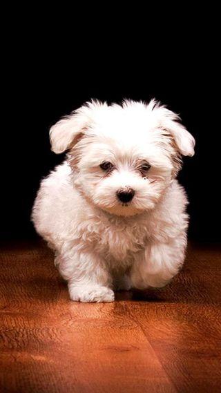 Обои на телефон щенки, собаки, милые, малыш, белые, chien