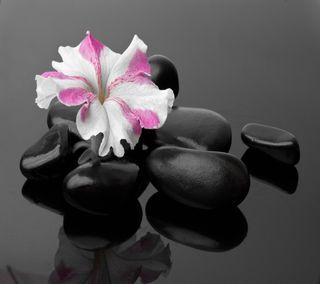 Обои на телефон конепт, черные, цветы, фон, камни, дзен, zen concept flower, black stones