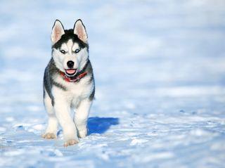 Обои на телефон siberiano, милые, снег, волк, дикие, собаки, хаски, котята