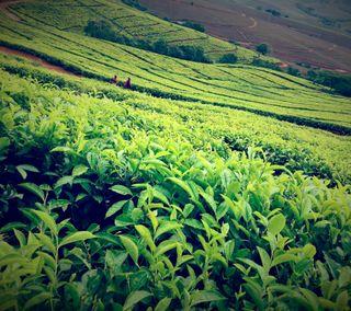 Обои на телефон южный, чай, зеленые, африка, venda, south africa, limpopo, gondeni