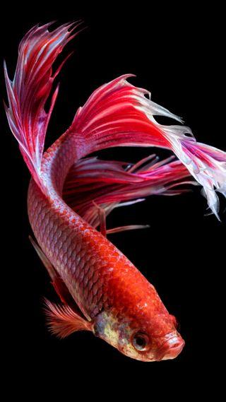 Обои на телефон чемпион, рыба, champion fish 6s-4, 6s