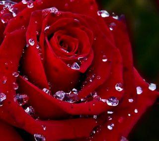 Обои на телефон цветы, сад, роса, розы, любовь, красые, дождь, день рождения, 2160x1920px, love, dew rain