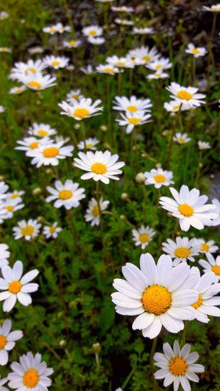 Обои на телефон фотографии, цветы, ромашки, маргаритка, крутые