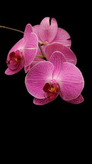 Обои на телефон растения, цветы, орхидея
