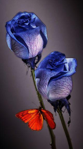 Обои на телефон бабочки, синие, розы, blue roses