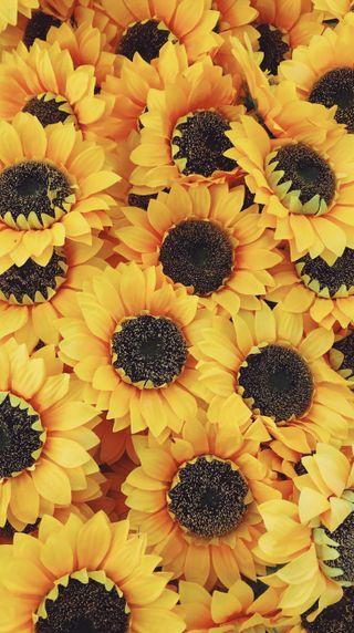 Обои на телефон цветение, солнце, желтые, цветы, цвести, подсолнухи, весна