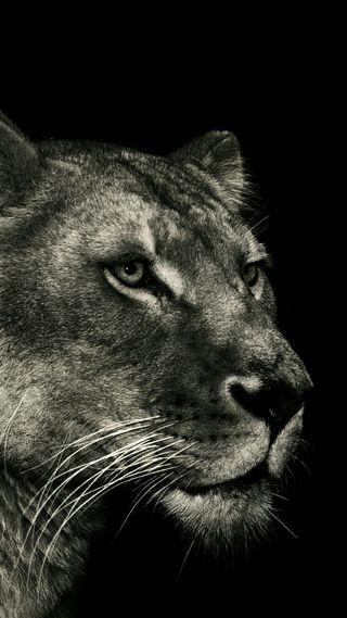 Обои на телефон черные, лев, животные