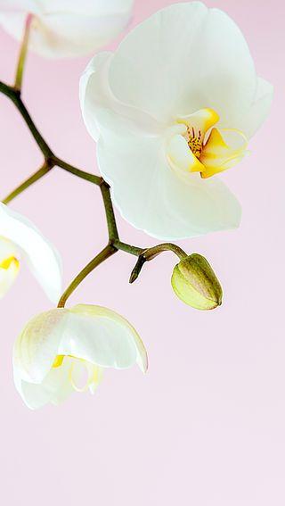 Обои на телефон мягкие, цветы, цветение, симпатичные, розовые, растения, орхидея, красота, hd, blooming orchid
