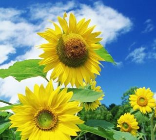 Обои на телефон подсолнухи, цветы, природа