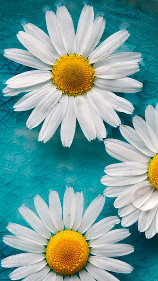 Обои на телефон маргаритка, цветы, ромашки, природа, белые