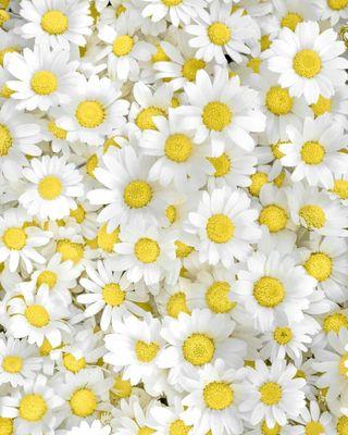 Обои на телефон маргаритка, цветы, растения, природа, весна, chamomile