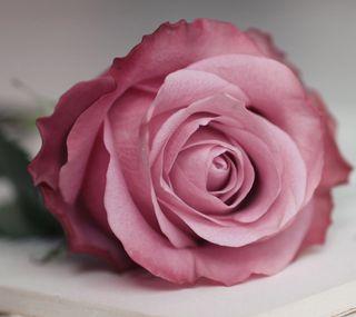 Обои на телефон чувства, ты, розы, милые, любовь, rose for you, love