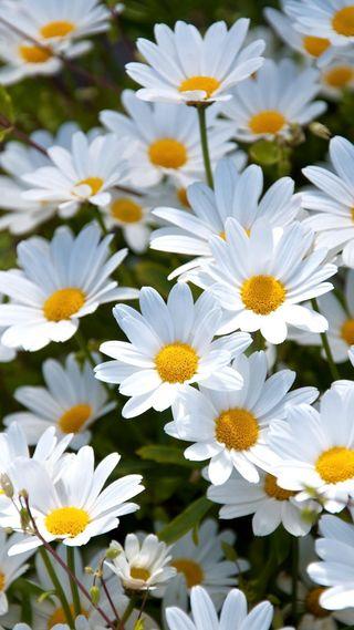 Обои на телефон природа, цветы, белые, зеленые, желтые, красота, маргаритка, ромашки