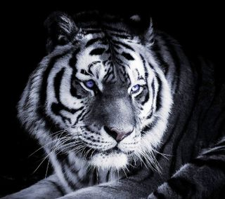 Обои на телефон тигр, mherh, gwreg