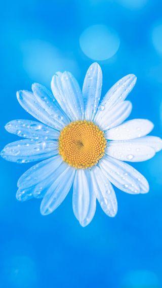 Обои на телефон маргаритка, цветы, синие, капли, вода, белые