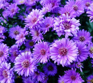 Обои на телефон фиолетовые, цветы, природа