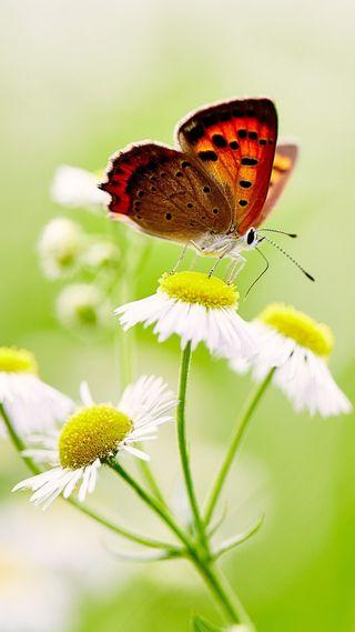 Обои на телефон маргаритка, бабочки