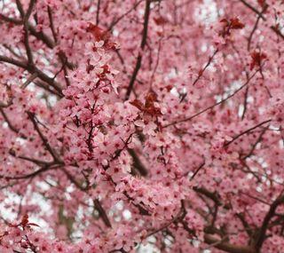 Обои на телефон вишня, цветы, цвести, расцветает, дерево, весна, cherry blossoms, cherry blossom