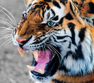 Обои на телефон тигр, супер, рык, кошки, животные, super cat