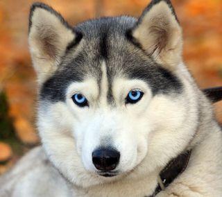 Обои на телефон собаки, olhos azuis