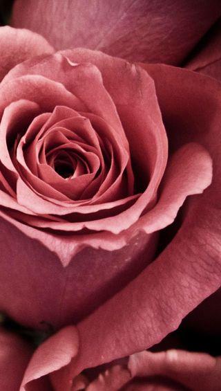 Обои на телефон лепестки, цветы, розы, розовые, любовь, pink rose 3, love
