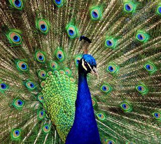 Обои на телефон павлин, перо, peacock feather