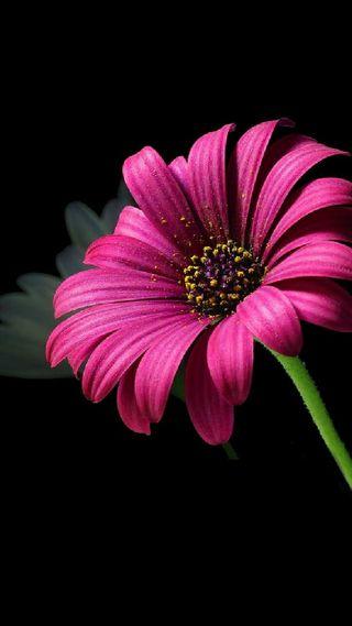 Обои на телефон сад, черные, цветы, фиолетовые, розовые, маргаритка, любовь, день, stem, love, good day  sies