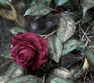 Обои на телефон цветы, романтика, розы, природа, любовь, каникулы, другие, валентинки, wow, love