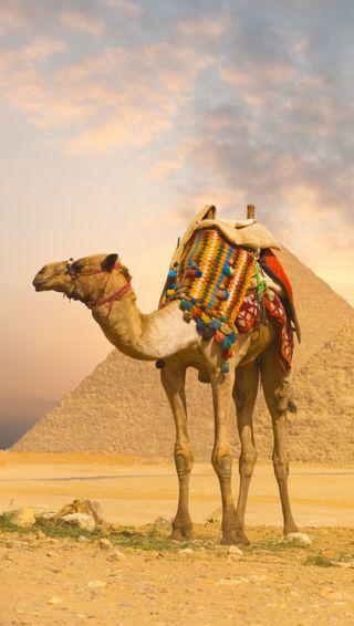 Обои на телефон пустыня, пирамиды, египет, camel