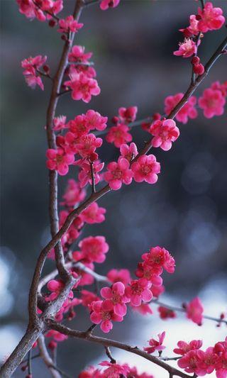 Обои на телефон вишня, цветы, синие, небо, лилия, красые