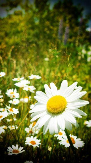 Обои на телефон маргаритка, цветы, ромашки, природа, любовь, красота, love