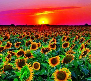 Обои на телефон подсолнухи, цветы, солнце, природа, поле, пейзаж, закат