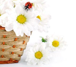 Обои на телефон маргаритка, цветы, весна, божья коровка