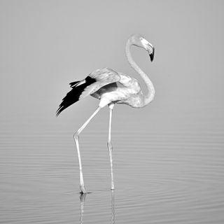 Обои на телефон черно белые, природа, животные, flamingo