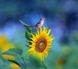 Обои на телефон фото, цветные, природа, подсолнухи, пейзаж, воробей, sparrow on sunflower