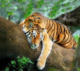 Обои на телефон релакс, тигр, дерево